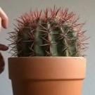 Sing, pequeño cactus, cantar!